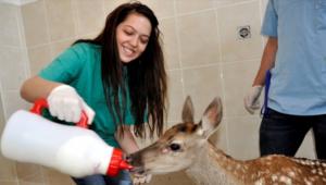 Yaralı kızıl geyik tedavi edildi