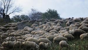 ABD üssünde koyun sürüsü tehdidi
