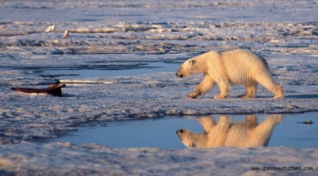 Rus takımadasında kutup ayıları nedeniyle olağanüstü hal ilan edildi