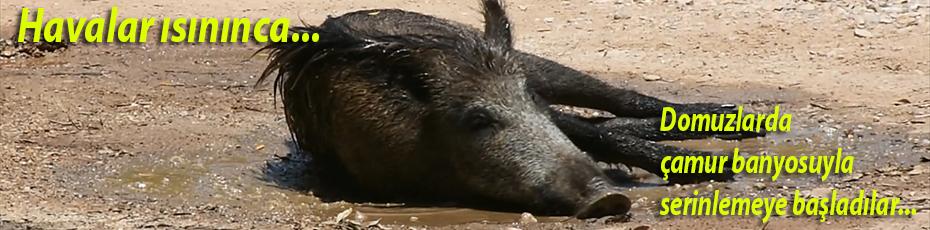 Yaban domuzunun çamur banyosu keyfi