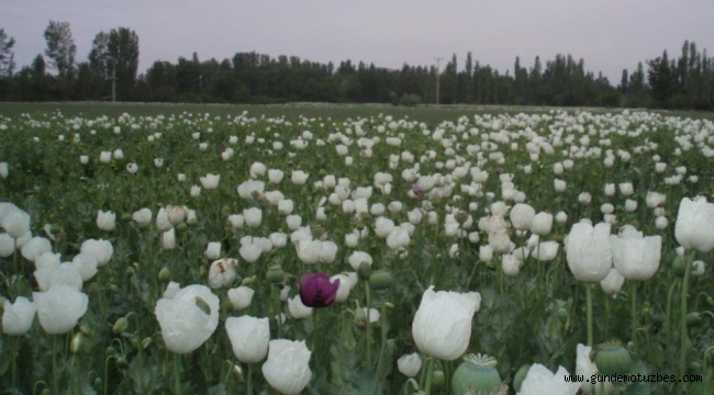 Hindistan'a haşhaş tohumu ihracatı tekrar başlıyor