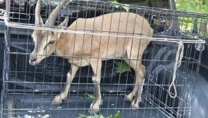 Yaralı dağ keçisi tedavi edildikten sonra doğal yaşam alanına bırakıldı