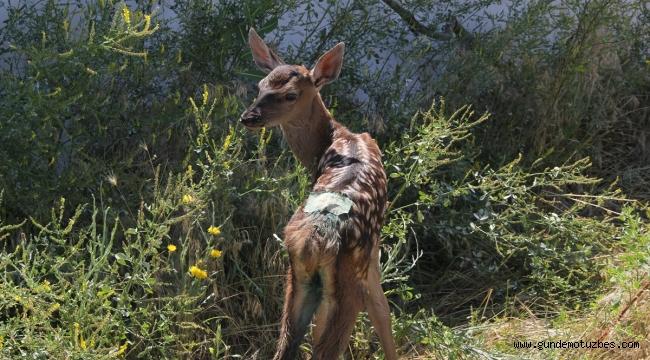 Yaralı geyik yavruları tedavi altına alındı