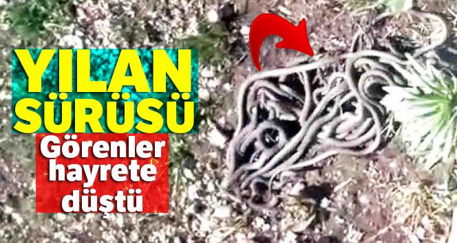 Yüksekova'da yılan sürüsü