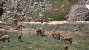 Bezuvar dağ keçileri sürü halinde görüntülendi