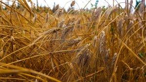 Tarihi değeri olan Karakılçık buğdayının hasadı yapılıyor