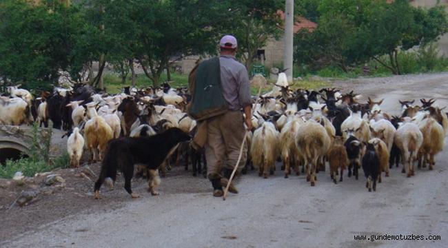 Çanakkale'de bakanlığın dağıttığı hayvanlar öldü; 32 mahalle veba nedeniyle karantinaya alındı