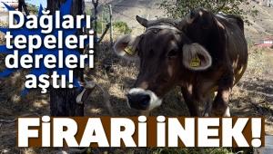 Firari inek! Bayburt'tan kaçtı, Gümüşhane'de bulundu