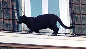 Kara panter kaçırıldı