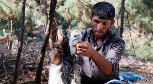 Muğla'da kurtların saldırdığı 10 keçi telef oldu