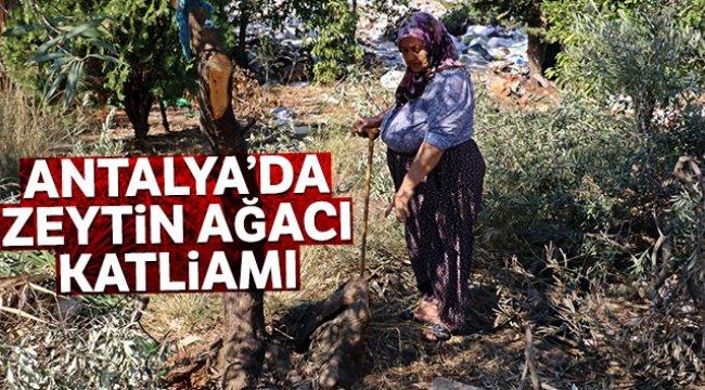 Antalya'da zeytin ağacı katliamı