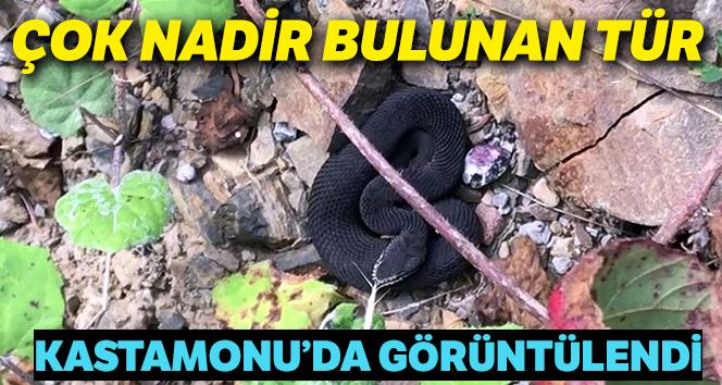 Kastamonu'da nadir bulunan zehirli baran engerek yılanı görüntülendi