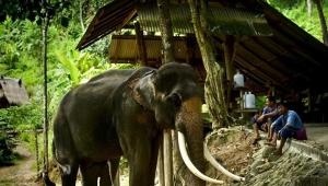 Tayland'da yavru fili kurtarmaya çalışan sürüden 6 fil öldü