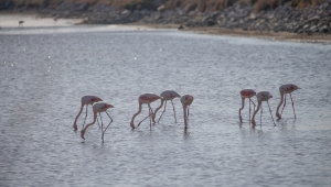 İzmir Kuş Cenneti'nde Flamingolar