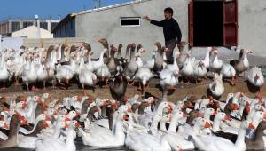 Van'da yetiştirilen kazlara İran ve Kuzey Irak'tan talep