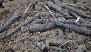 Kayseri'de ilk defa siyah havuç hasadı yapıldı