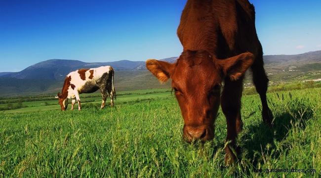 Muğla'da meralarda hayvan otlatma ücretleri düşürüldü