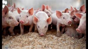 Polonya'da bir çiftçi yetiştirdiği domuzlara yem oldu