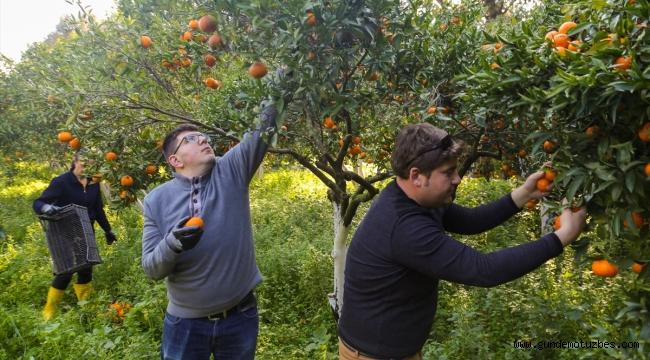 Bodrum'da hasadı yapılan mandalinalar kurutulacak