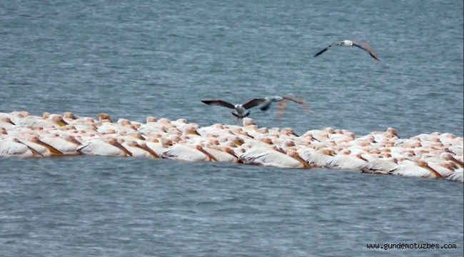 Pelikanlar Mersin'de göç molası verdi