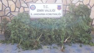 İzmir'e 108 kök kenevir bitkisi ele geçirildi