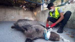 Muğla'da kapana yakalanan yaban domuzu kurtarıldı