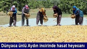 Dünyaca ünlü Aydın incirinde hasat heyecanı