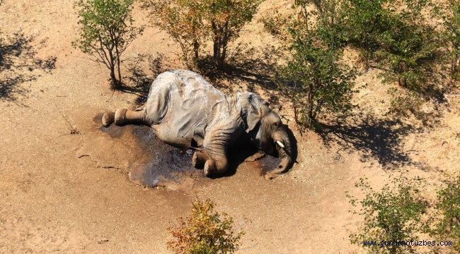 Bostvana'daki gizemli fil ölümleri aydınlatılıyor