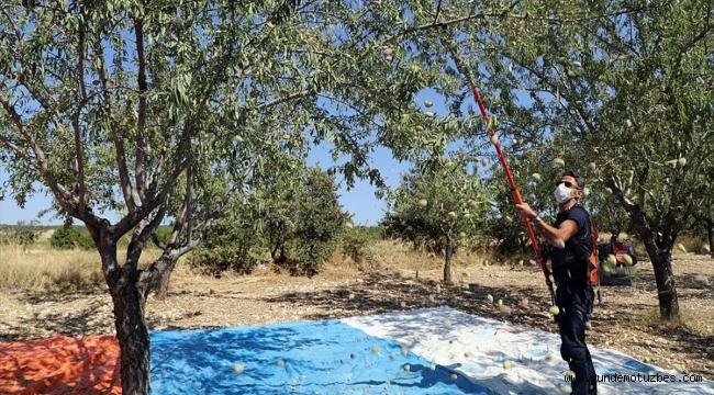 Demirci'de badem hasadına başlandı