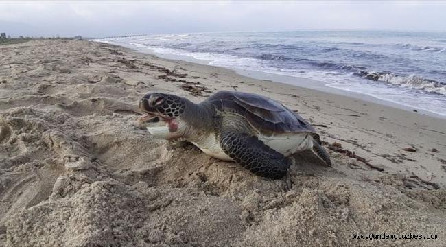 Kuşadası'nda iki deniz kaplumbağası karaya vurdu